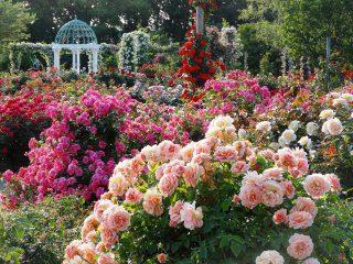 京成バラ園の写真